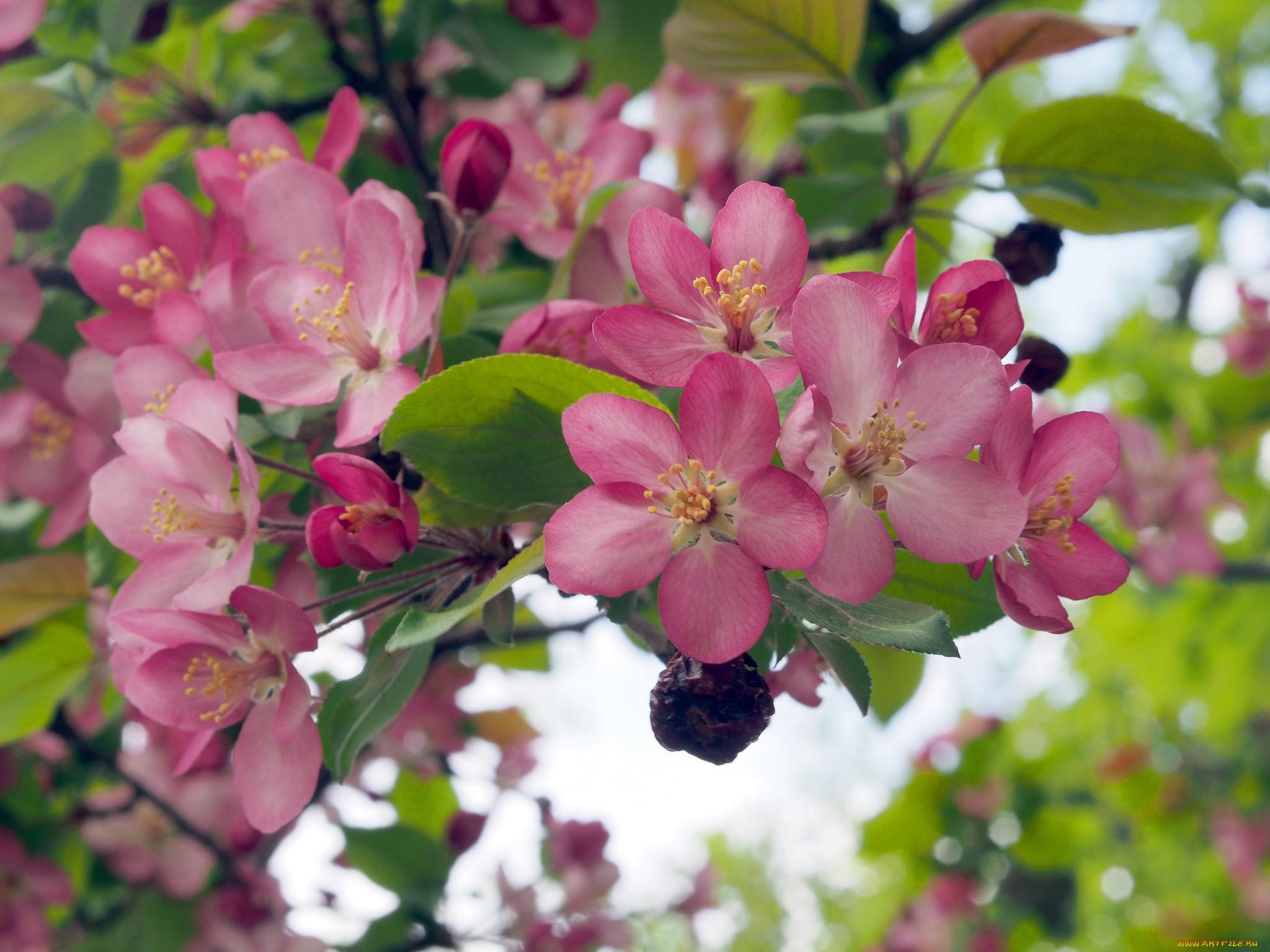 советуем держать красивые картинки цветущих яблонь инструменты идеально подойдут